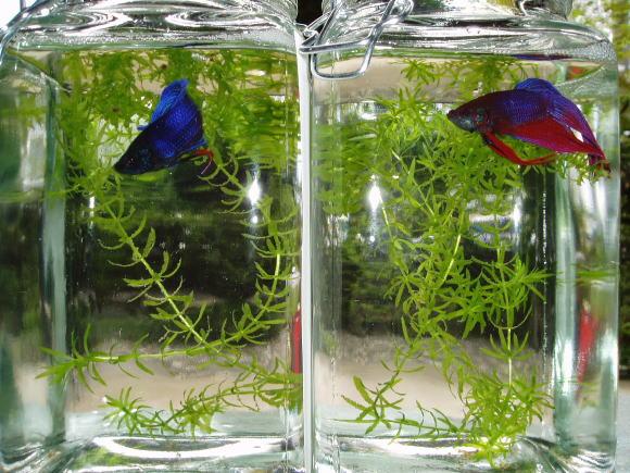ベタ・熱帯魚・betta・ガラス瓶のベタ・ベタ・スプレンデンス