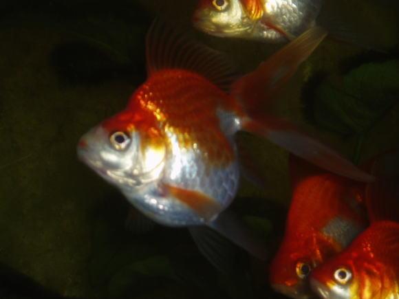 金魚水槽・金魚・リュウキン・琉金・更紗琉金